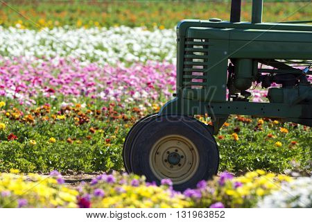 A tractor in amongst a row of buttercup flowers in a massive field being farmed for the floral industry.