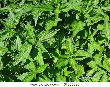 wild nettle which  illuminated by the sun