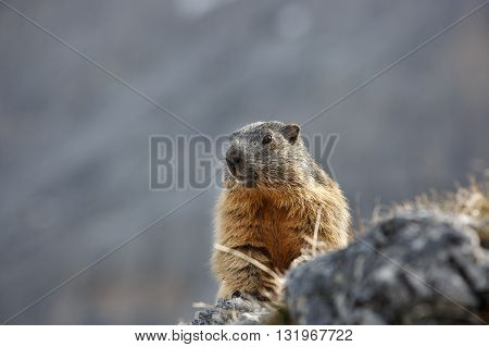 Marmot on a rock in scenic mountain landscape on a lookout for predators. Wildlife protected natural park area concept.