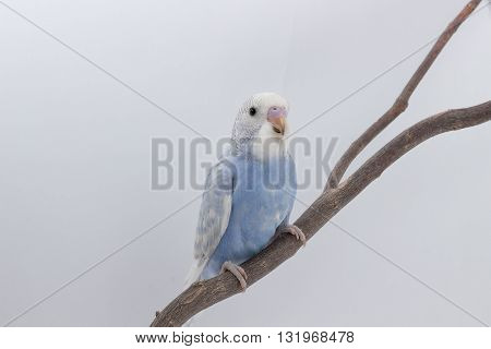 Little Cute Budgerigar, Budgie, Bird
