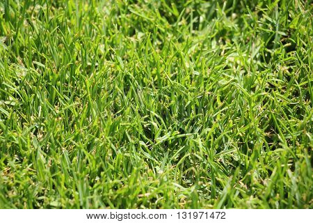 Closeup of clean fresh mown green grass