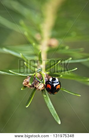 Macro photography of a black ladybird with red spots