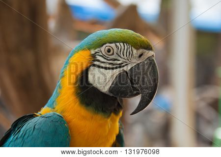 The macaws bird head with the thick beak