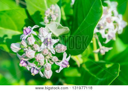 Crownflower With Green Leaf