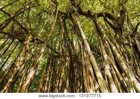 Large Old Trees Overgrown With Lianas