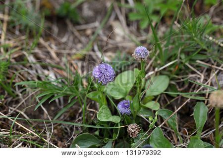 Common ball flower (Globularia bisnagarica) a wild flower in southern and central Europe.