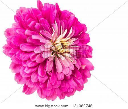 Isolated beautiful Zinnia Flower on white background