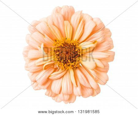 Isolated Zinnia  beauty Flower on white background