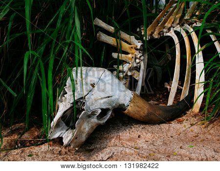 Buffalo skull in grass. buffalo, skull, dead, nature
