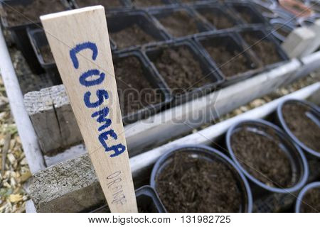 Cosmea Seeds Planted In Plastic Containers