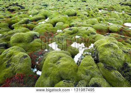 Iceland lava field covered with green moss