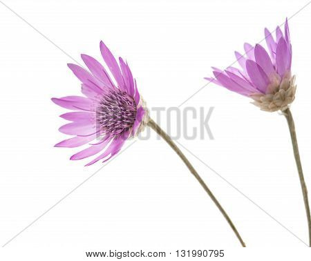 beautiful Immortelle flower isolated on white background