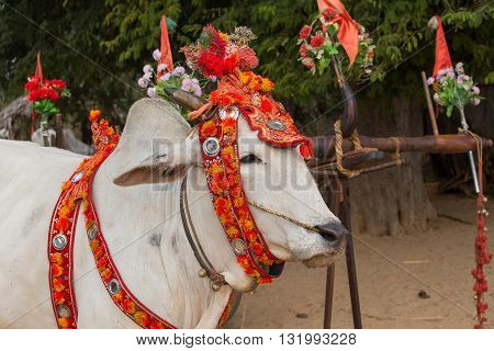 Decorated buffalo who participated in the donation channeled ceremony Shinbyu marking the samanera ordination of a boy under the age of 20. Bagan Myanmar