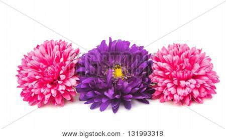 nature  flowers aster isolated on white background
