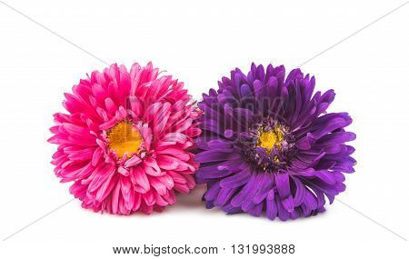 color lowers aster isolated on white background
