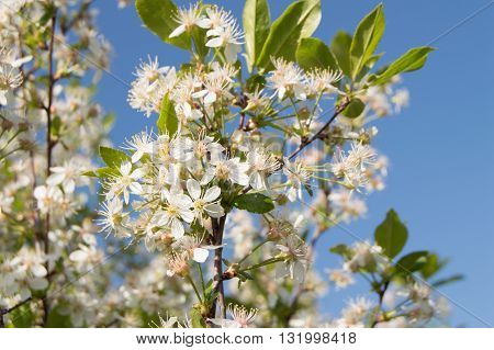 Beautiful flowers of cherry on blue sky background.