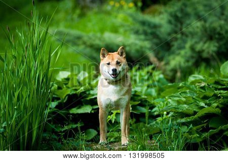 Shiba inu standing outdoor portrait at summer