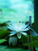 Постер, плакат: Lotus flower blooming on a tranquil pond in blue morning light White lotus flower and pink lotus fl