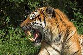 Tiger Snarl 001
