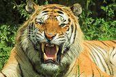 Tiger Snarl 002