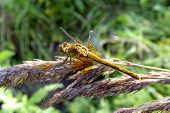 Sitting Dragonfly.