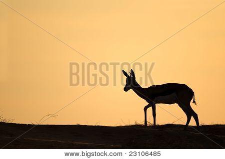 Silueta de Springbok, desierto de Kalahari