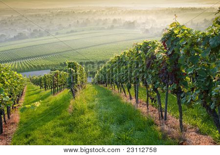 Forest And Vineyard