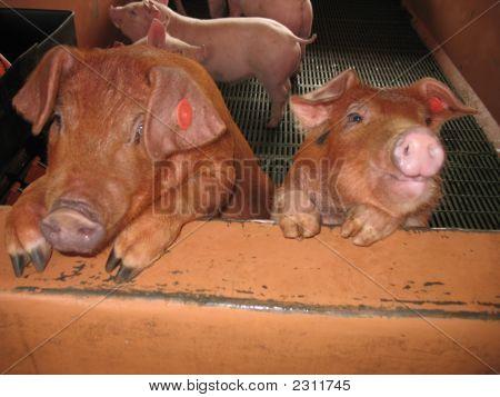 Panaca Pigs 01