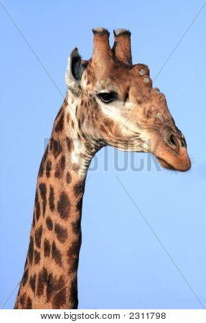 Giraffe Portrait 1