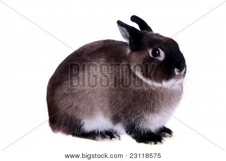 Dwarfish rabbit . Isolated on the white