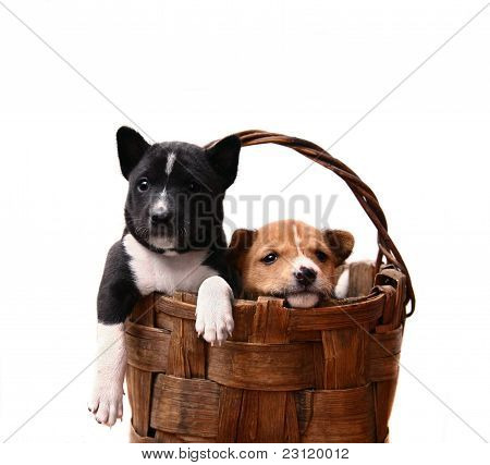Two little Basenji puppies
