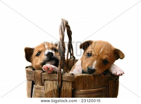 Two little Basenji puppies, 1,5 month