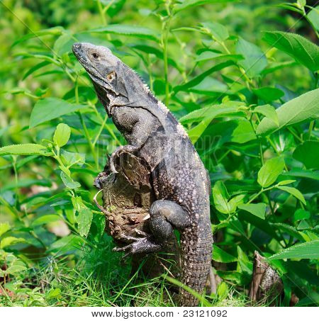 Wild iguana in the forest