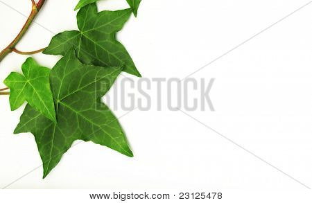 botanical, green border made of ivy leaves isolated on a white background