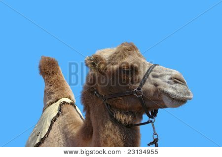 Camel with harness and blue sky
