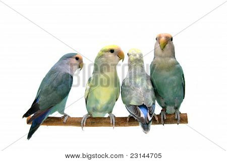 Four of Peach-faced Lovebirds
