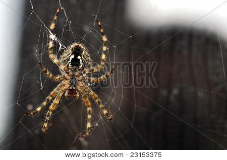 Brown Recluse Spider construir su Web