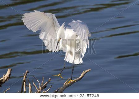 Snowy Egret Landing on Branch in Water