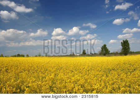 Yellow Filed