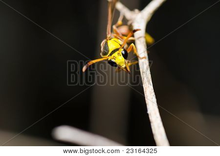 Yellow Wasp In Green Nature