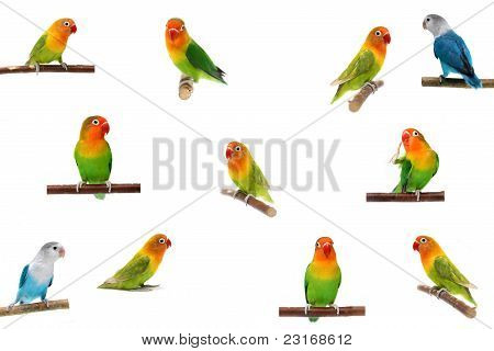 Set Lovebirds, isolated on white