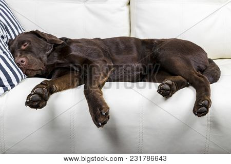 poster of Brown Chocolate Labrador Retriever Dog Is Sleeping On Sofa With Pillow. Sleeping On The Couch. Young
