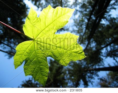 Leaf Backlit By The Sun