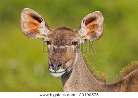 Greater Kudu (tragelaphus strepsiceros) at Addo Elephant Park in South Africa.