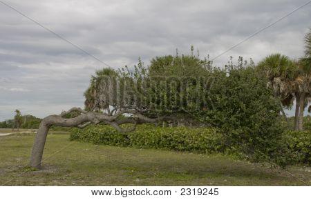 Giant Bonsai