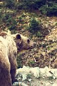 Brown Bear In The Reserve. Brown Bear In A Zoo.  Brown Bear Sitting On A Rock In The Forest poster