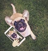 cute chihuahua pug mix puppy playing outside in fresh green grass taking a selfie toned with a retro poster