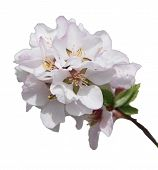 A Branch Of Blossoming Cherry. Isolated On White Background.blooming Cherry. Spring Cherry Flowers. poster