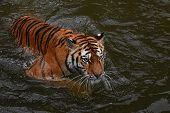 Close Up Siberian Amur Tiger Swimming In Water poster