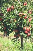 Apple Garden Full Of Riped Red Fruits poster